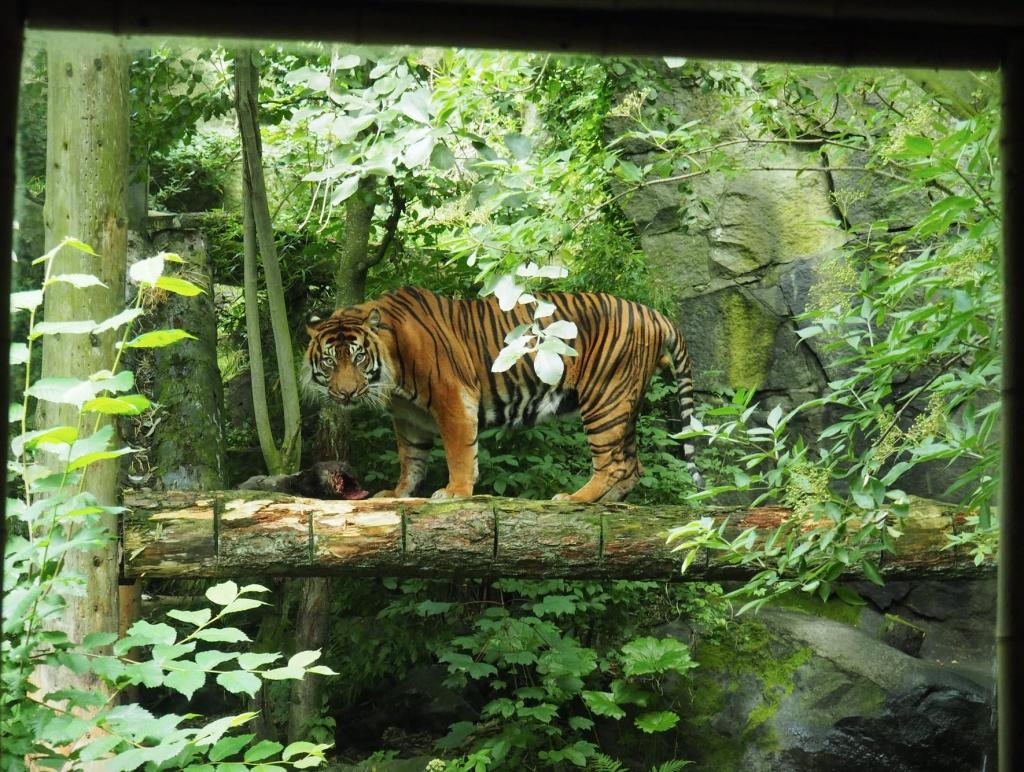 Edinburgh Zoo Tiger
